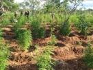 Plantação com 40 mil pés de maconha é localizada pela polícia no norte da Bahia